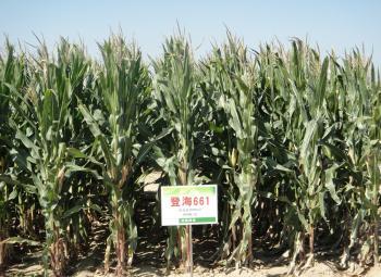 良玉188玉米种_玉米杂交种-山东登海种业股份有限公司